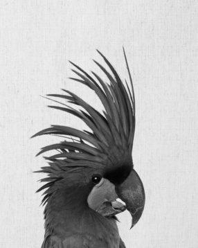 Palm-Cockatoo_P