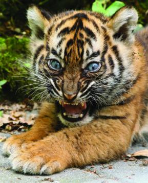 tiger-bub